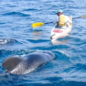 IH:BC kayaker and pilot whales 9x6