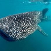 BWE whale shark 9x6