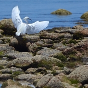 BWE egret on rocks 9x6