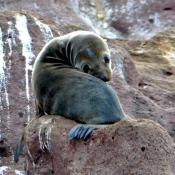 BWE sea lion pup 9x6