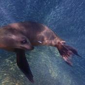 ES:BWE sea lion in sardines 9x6