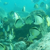 ES:BWE butterfly fish underwater 9x6