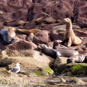 ES:BWE sea lions on rocks 9x6