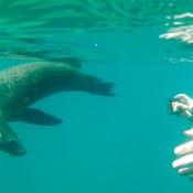 ES:IH sea lion, snorkeler camera 9x6