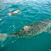 BWE snorkelers with whale shark 9x6