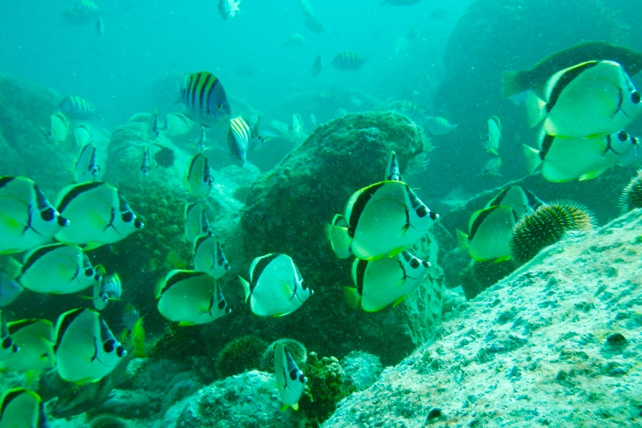 IH butterfly fish 9x6