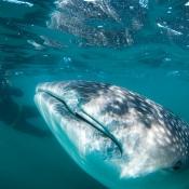 DT whale shark and photographer 9x6
