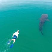 DT whale shark & snorkeler 9x6