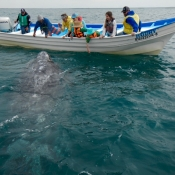 MB adult whale close to boat