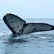 MB:BWE whale tail 9x6